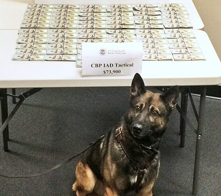 A picture of CBP canine who discovered unreported cash that was seized by CBP at Dulles Airport in front of the table of cash emblazoned with CBP logo.